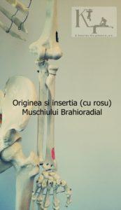Originea si insertia muschiului brahioradial