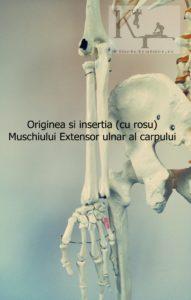 Originea si insertia muschiului extensor ulnar al carpului