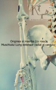 originea si insertia muschiului lung extensor radial al carpului