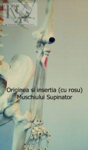 originea si insertia muschiului supinator
