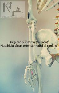 originea si insertia muschiului scurt extensor radial al carpului